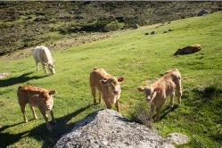 Vacas-valle-03-